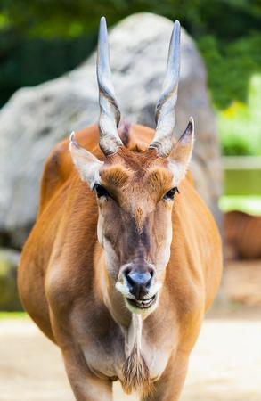 elegancy: eland antelope looks to the camera