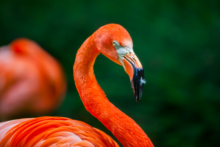 beak: flamingo with a feather on his beak