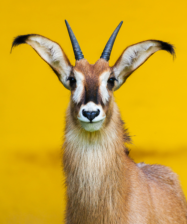 roan: roan antelope on yellow background Stock Photo