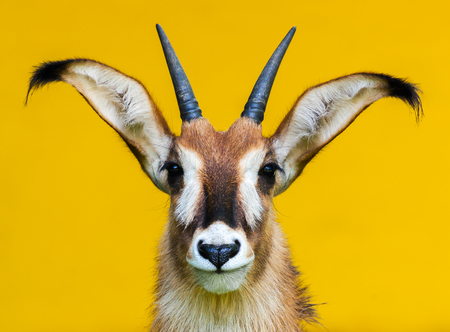 roan: roan antelope portrait on yellow background Stock Photo