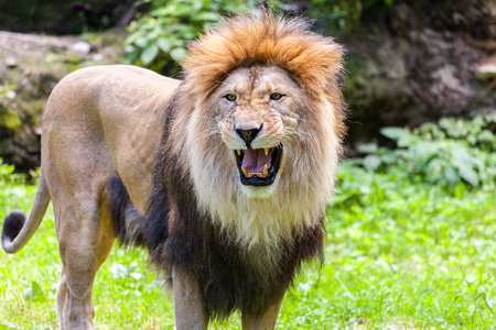 dangerous lion: standing lion roars Stock Photo