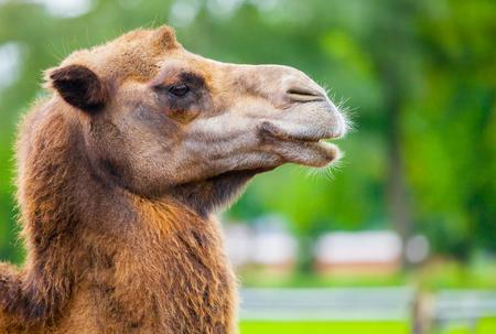 camel head side portrait Stockfoto