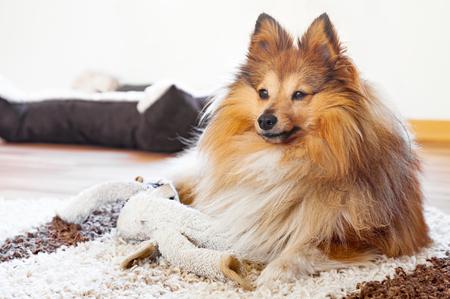 sheepdog: shetland sheepdog with dog toy Stock Photo