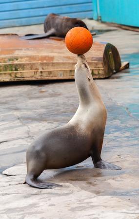 juggle: seal juggle orange basketball