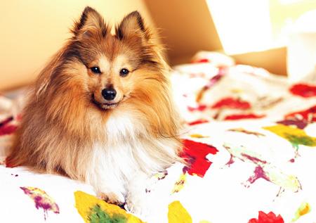 young shetland sheepdog lies bedcover