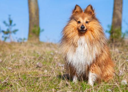 sheltie: Sheltie sits on grass