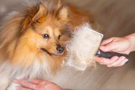 grooming with a dog brush on a shetland sheepdog Stockfoto