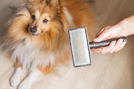 toilettage avec une brosse à chien sur un chien de berger shetland