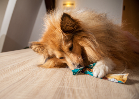 dog treat: shetland sheepdog chews on a dog treat Stock Photo