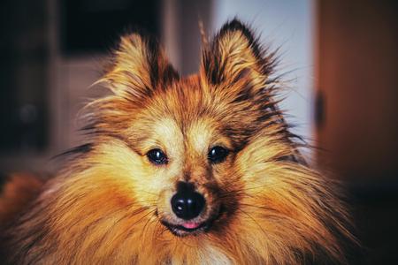 sheepdog: shetland sheepdog looks into the camera