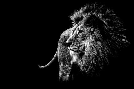 Leone in bianco e nero Archivio Fotografico - 60807044