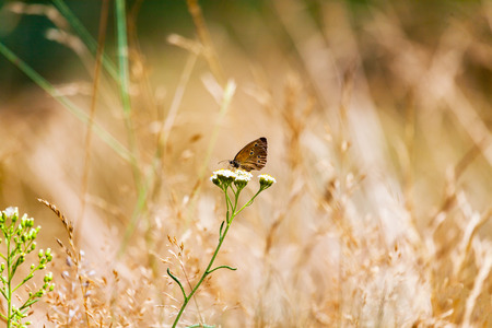 aphantopus: Aphantopus hyperantus, brown forest bird butterfly Stock Photo