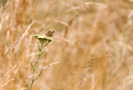 Aphantopus hyperantus, brown forest bird butterfly Stock Photo