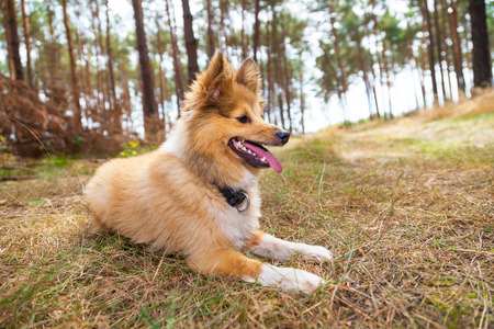 sheepdog: shetland sheepdog lies in a forest