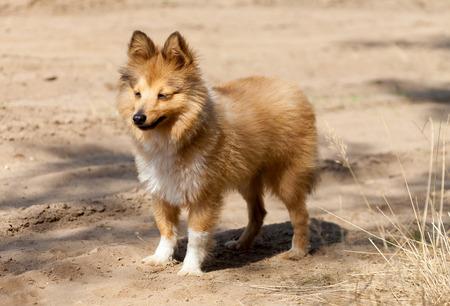 sheepdog: shetland sheepdog stands on dirty track
