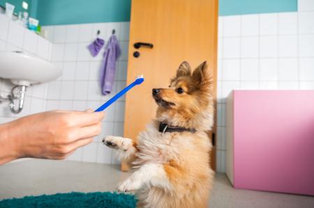 Shetland Sheepdog on a toothbrush