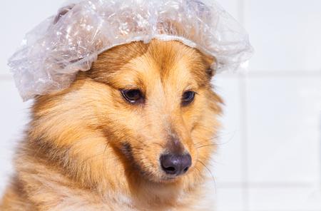 sheepdog: shetland sheepdog under shower