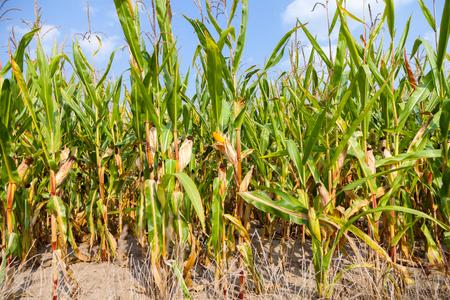 corncob: corncob in a corn field Stock Photo