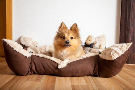 shetland sheepdog lies in his dog basket Standard-Bild