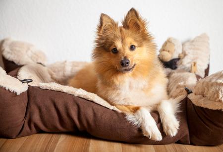 shetland sheepdog lies in his dog basket Reklamní fotografie