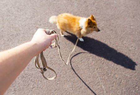 shetland sheepdog on leash