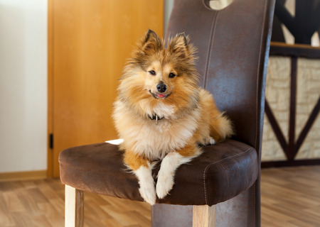Shetland Sheepdog lies on a brown chair Stock Photo