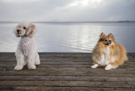 white poodle mongrel and a shetland sheepdog lies on wood planks