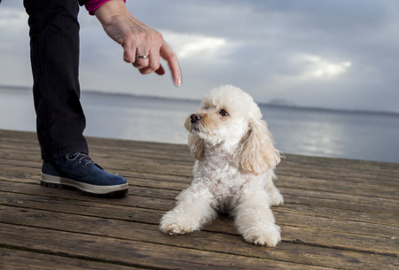 mongrel: white poodle mongrel lies on wood planks and looks to his owner Stock Photo
