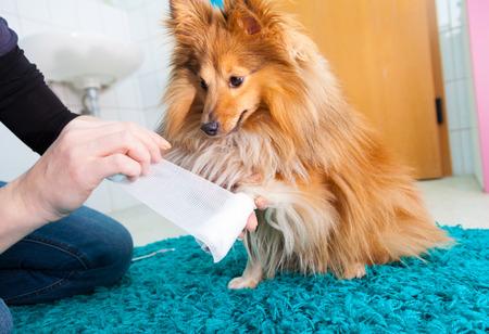 human bandage a shetland sheepdog in bathroom Foto de archivo