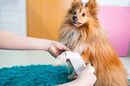human bandage a shetland sheepdog in bathroom Standard-Bild