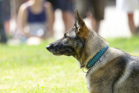 german military police dog shows to his owner Stock Photo