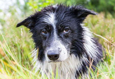 Border Collie dog lies in the grass Stock Photo