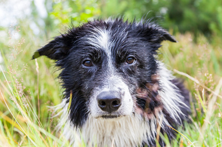 Border Collie dog lies in the grass Lizenzfreie Bilder