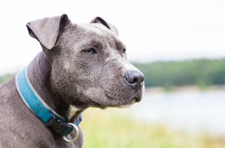 pit fall: a young pitbull with blue collar portrait