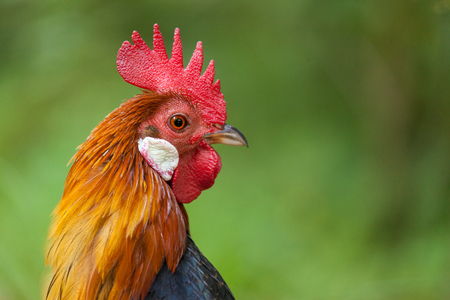 a german cock portrait on green background Lizenzfreie Bilder