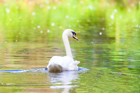 a white swan swims on a lake Lizenzfreie Bilder
