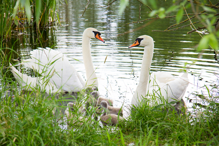 a white swan swims with children on a lake