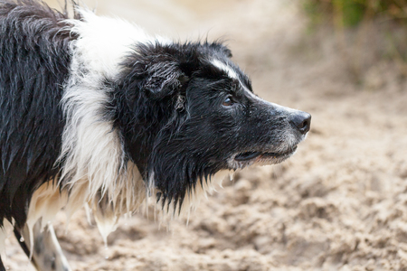 barking: a Portrait of a Border Collie dog Stock Photo