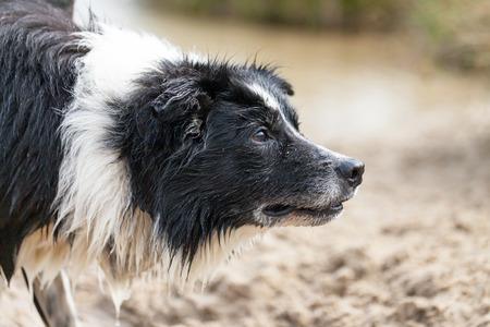 um Retrato de um cão Border Collie Banco de Imagens