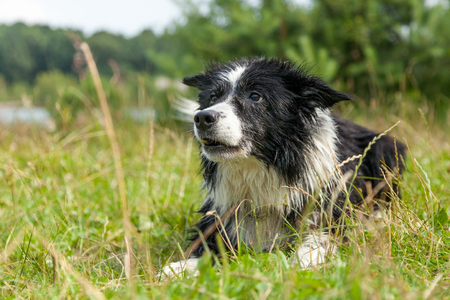 a Portrait of a Border Collie dog Stock Photo