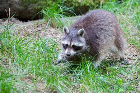 portrait of a racoon in a nature scene