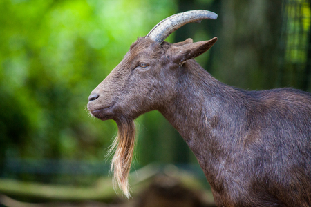 portrait of a german male goat with a long beard Stock Photo