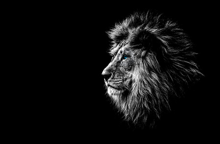 lion in black and white with blue eyes Foto de archivo