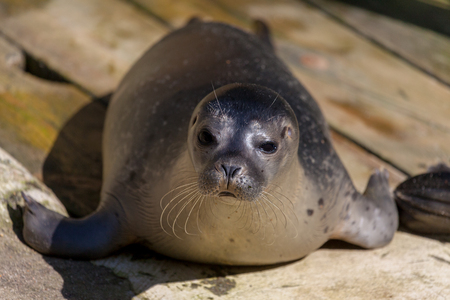 a young seal lies on stone underground Imagens