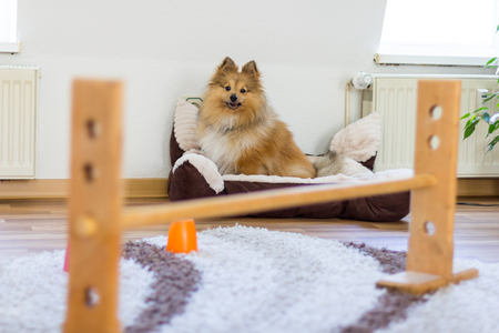 shetland sheepdog sits in front of a obstracle course at home
