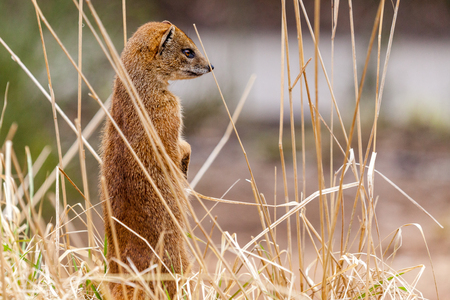 a brown marten stands in a field 写真素材