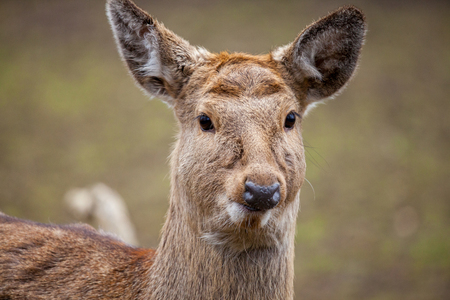 Dybowski deer stands in a wildlife scene