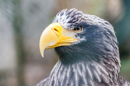 a portrait of a stellers sea eagle