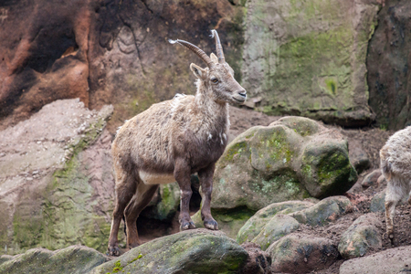 an brown ibex in a stone park