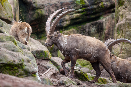 an brown ibex in a stone park Standard-Bild - 98374858
